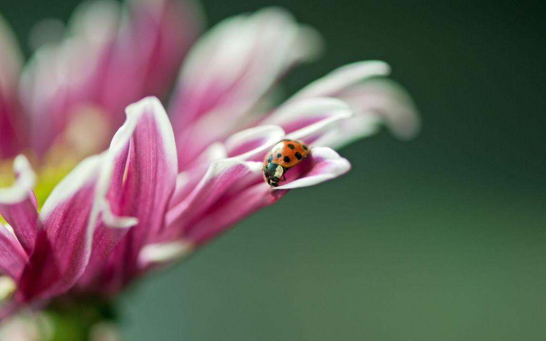 ladybug ladybird wallpaper