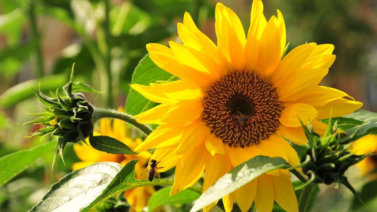sunflowers plants leaves yellow pollen petals wallpaper
