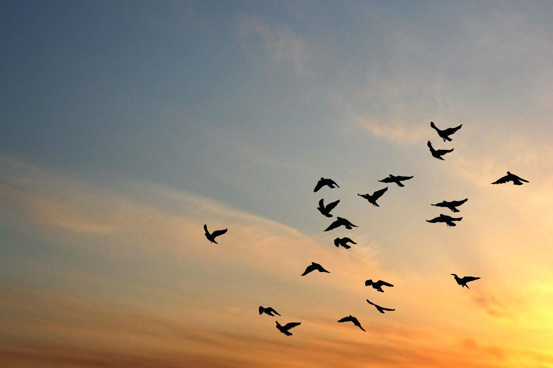 Pigeons Flying Wallpaper Pigeons Sky Flight Flly Sunset