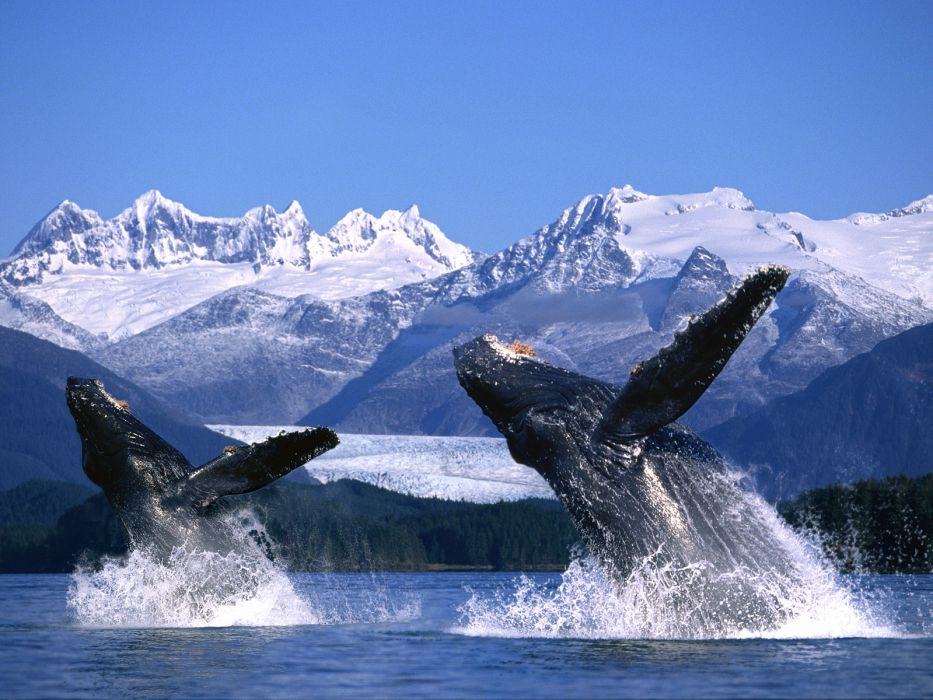 whales breach ocean sea landscapes mountains wallpaper