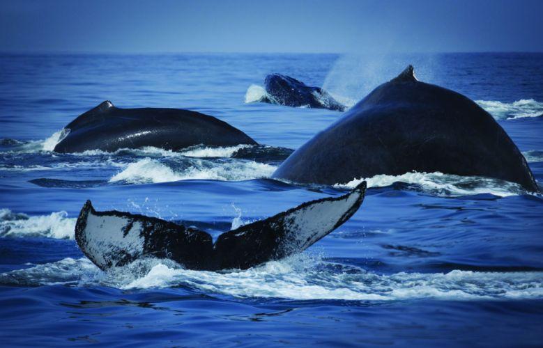 whales breach ocean sea nature wallpaper