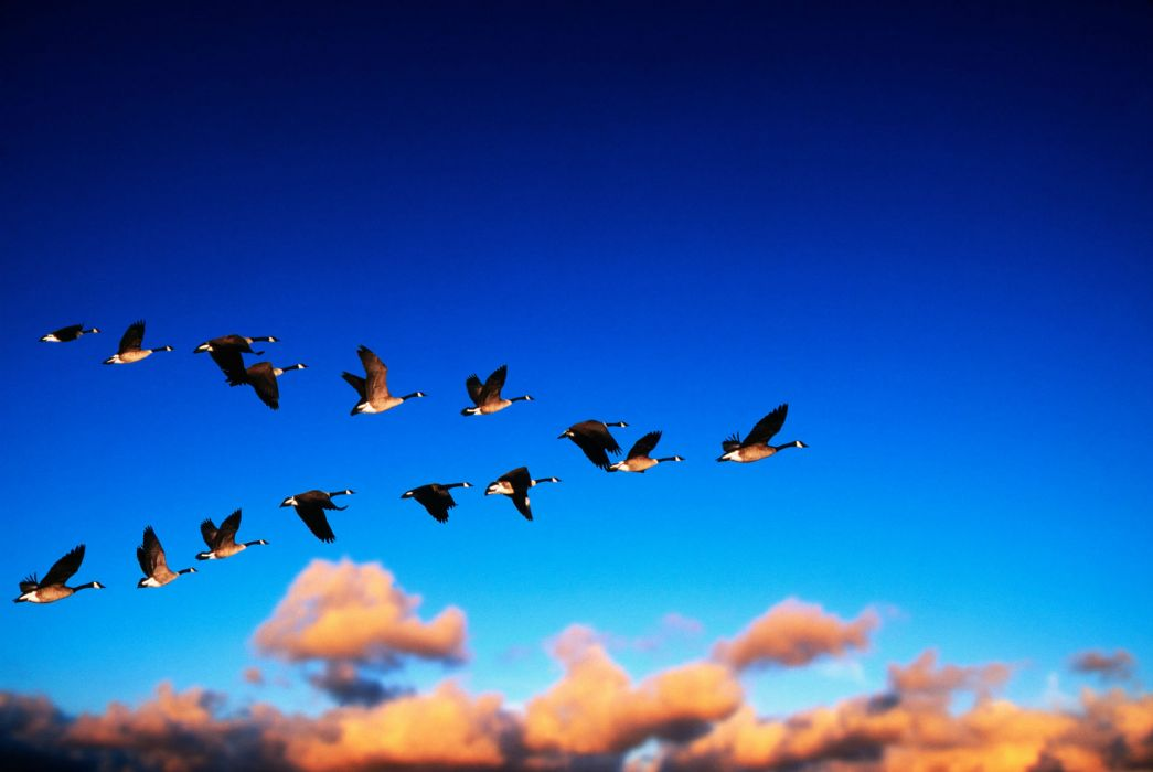 geese flight migration sky clouds wallpaper