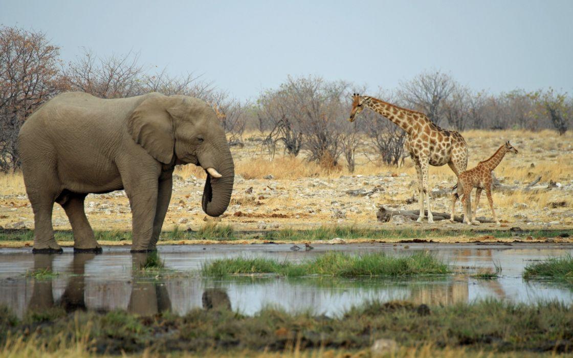elephant giraffe africa landscapes nature wallpaper