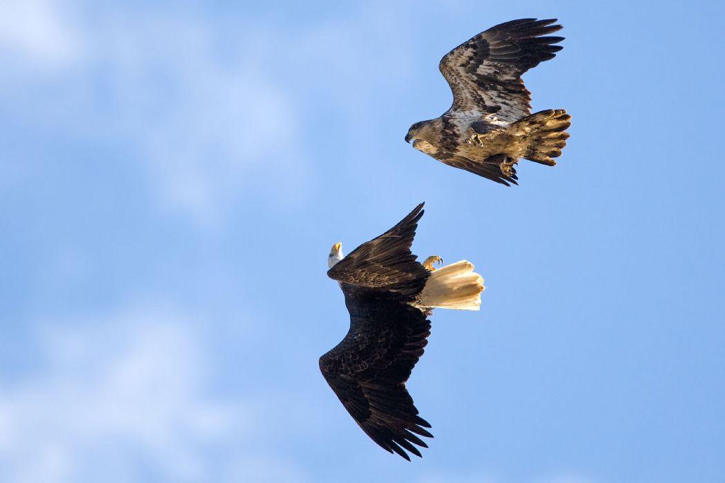 eagles fly sky wallpaper