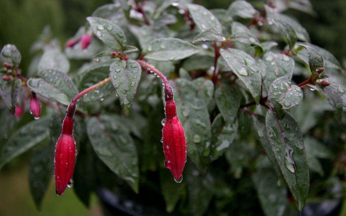 fusia flowers rain wallpaper