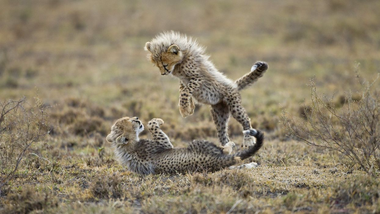 cats cheetah cubs wallpaper