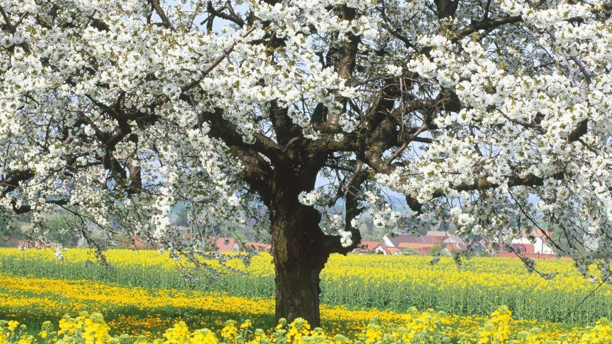 trees flowers blossoms wallpaper