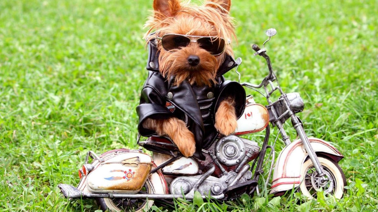 biker-little-dog-stylish- wallpaper