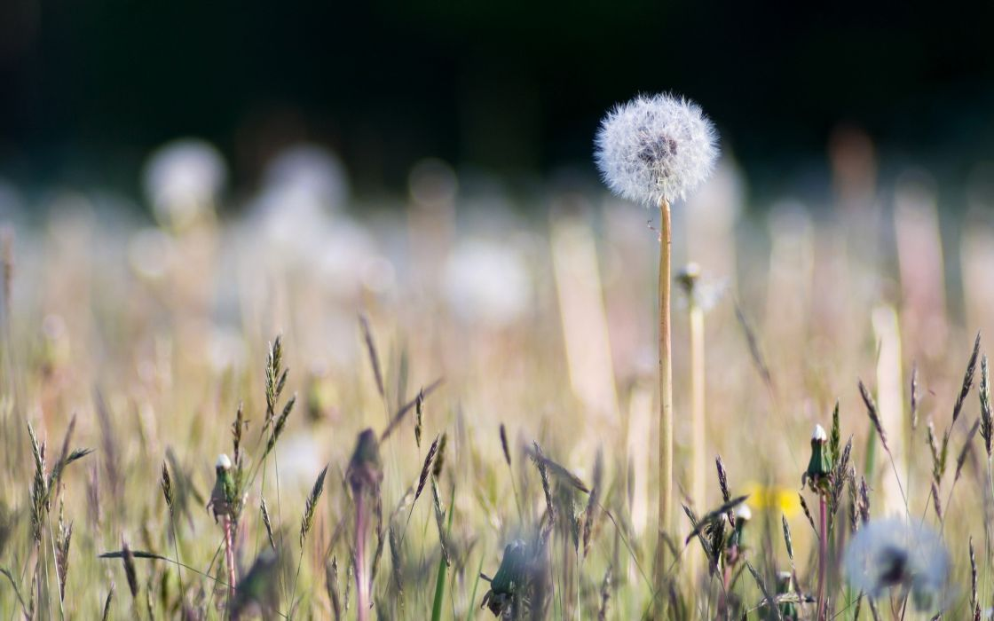dandelion plants macro wallpaper