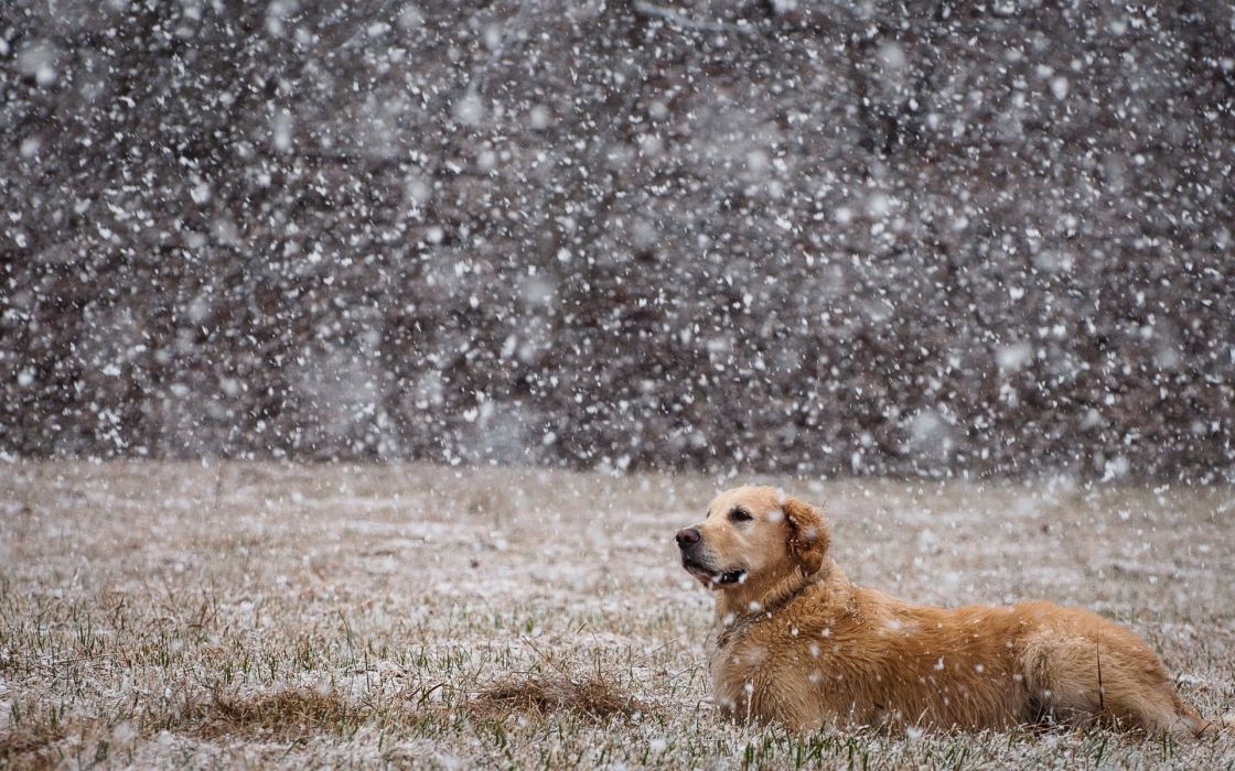 dogs canine nature winter flakes snow grass wallpaper