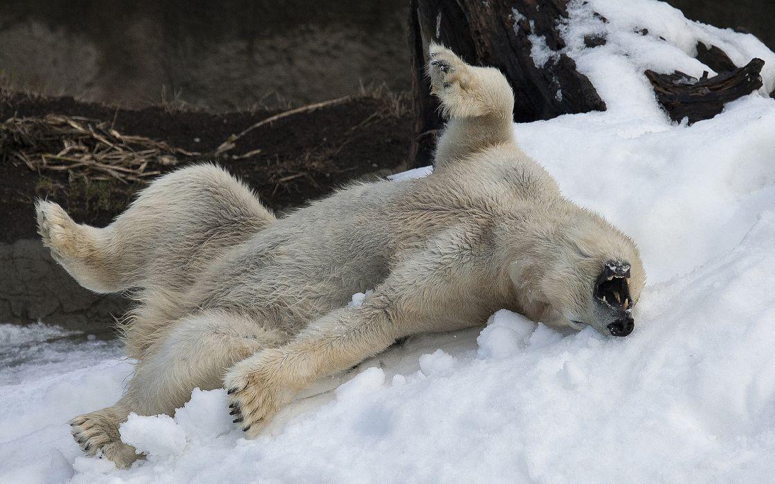 animals polar bear winter snow mood happy fun play wallpaper