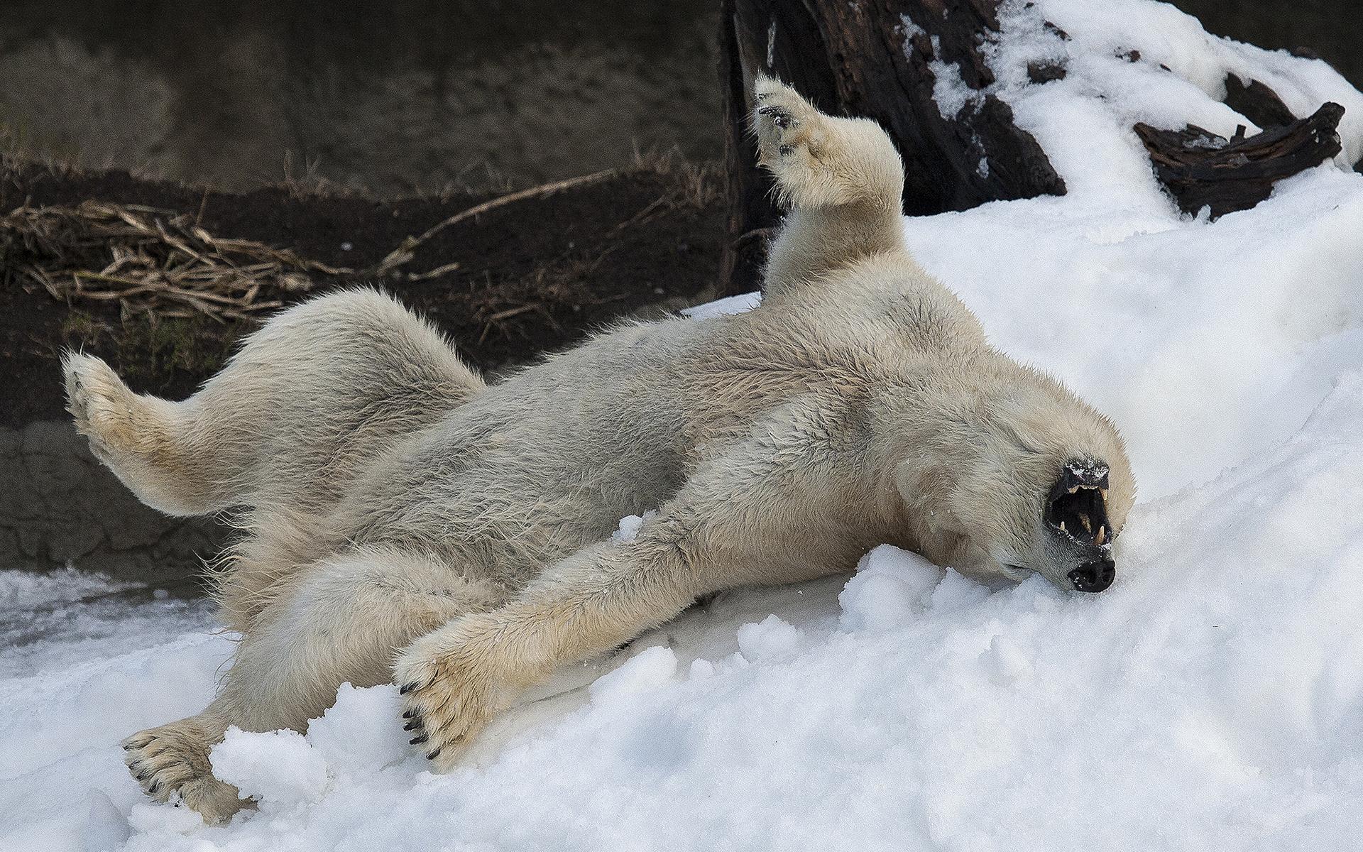 animals polar bear winter snow mood happy fun play. Black Bedroom Furniture Sets. Home Design Ideas