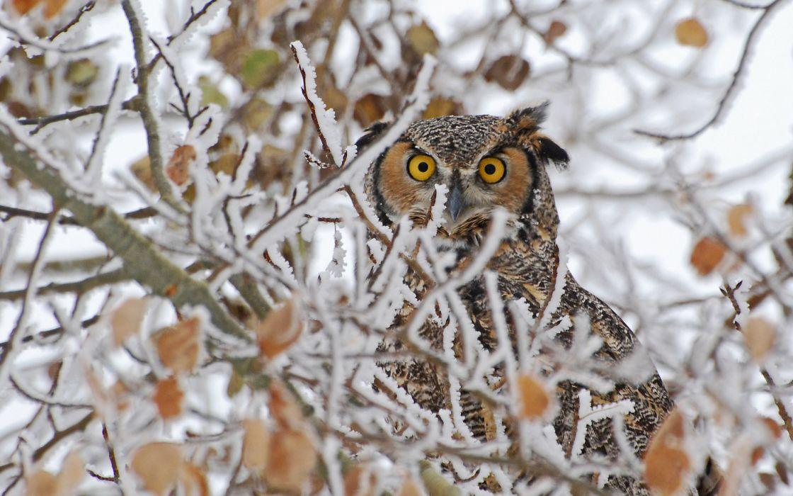 birds owls face eyes pov winter trees nature wildlife wallpaper