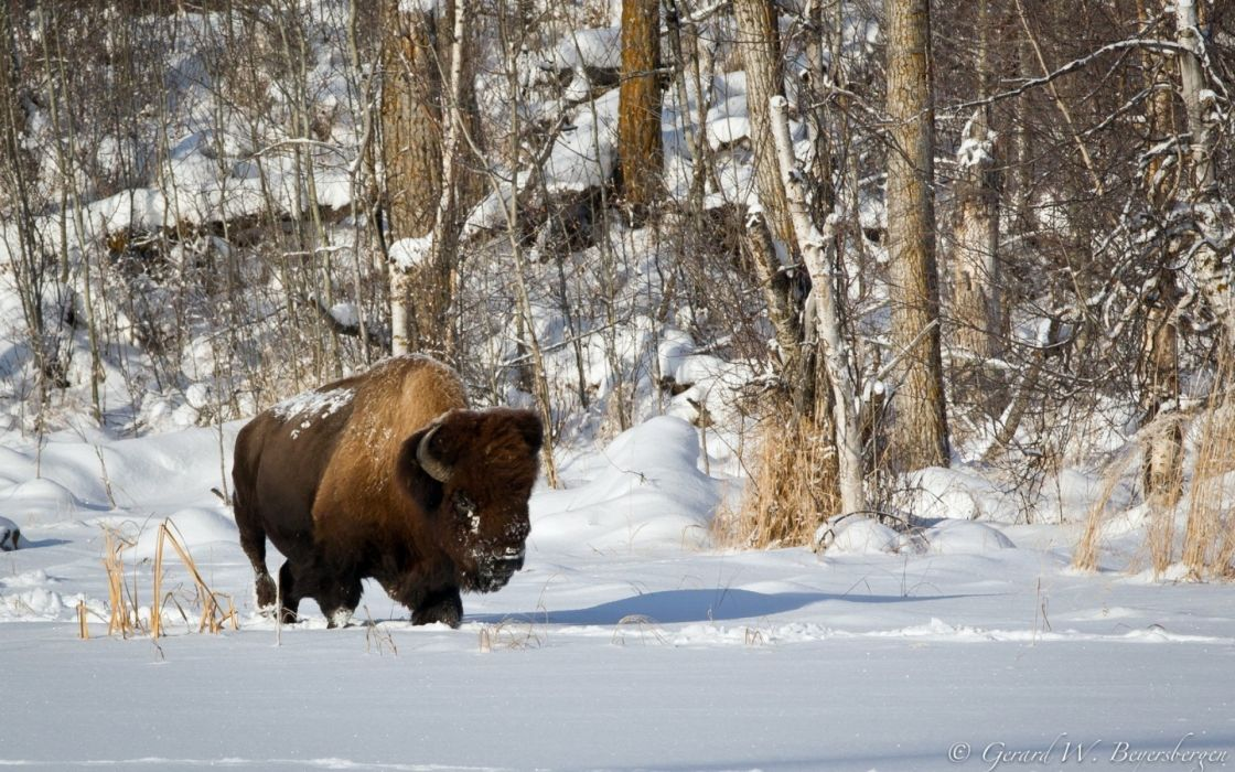 bison buffalo landscapes winter snow animals wildlife tees forest wallpaper