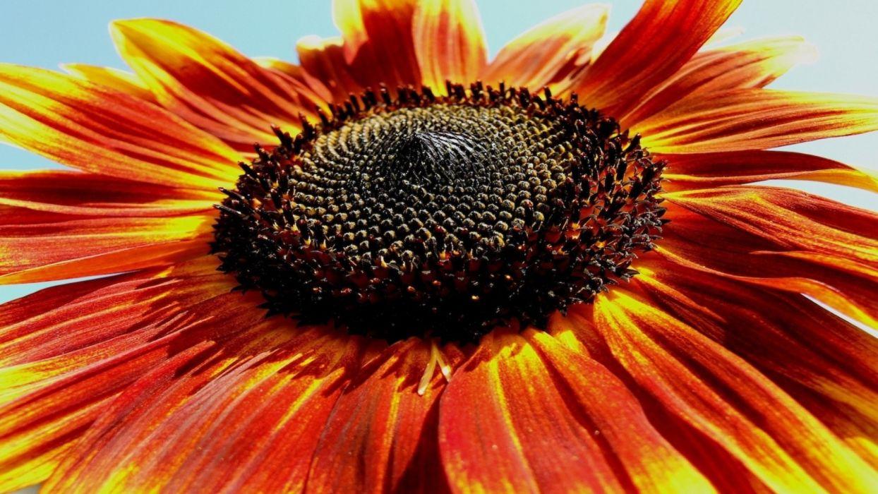 nature flowers sunflower petals close wallpaper