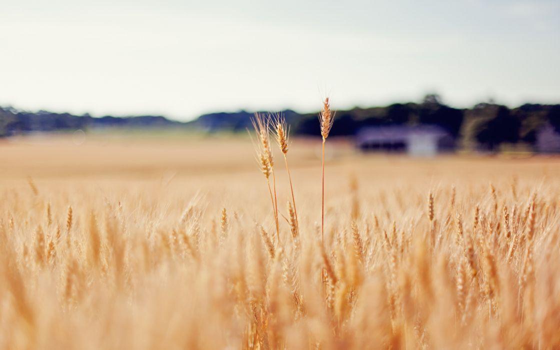 nature landscapes fields grass wheat macro wallpaper