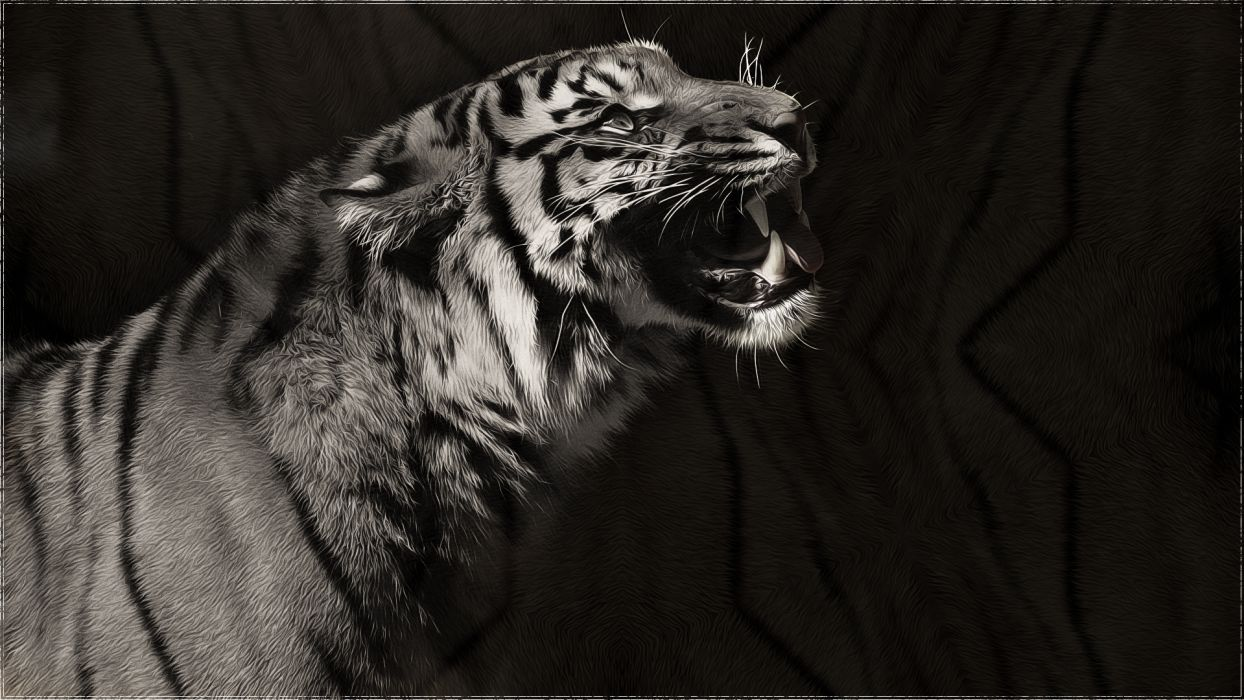 tiger predator monochrome black white wallpaper