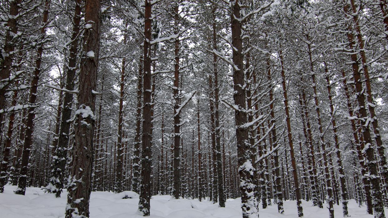 nature landscapes trees forest woods winter snow wallpaper