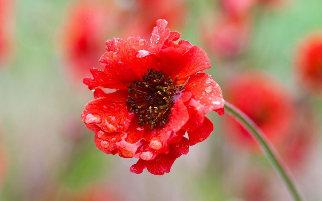 nature flowers macro drops red wallpaper