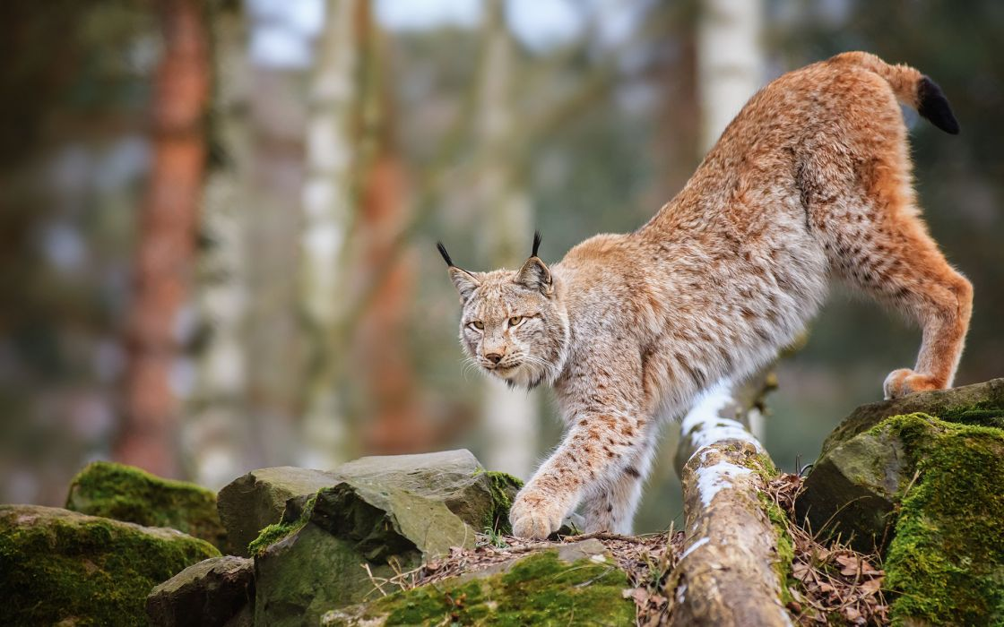 animals cats lynx trees forest wildlife predator nature wallpaper