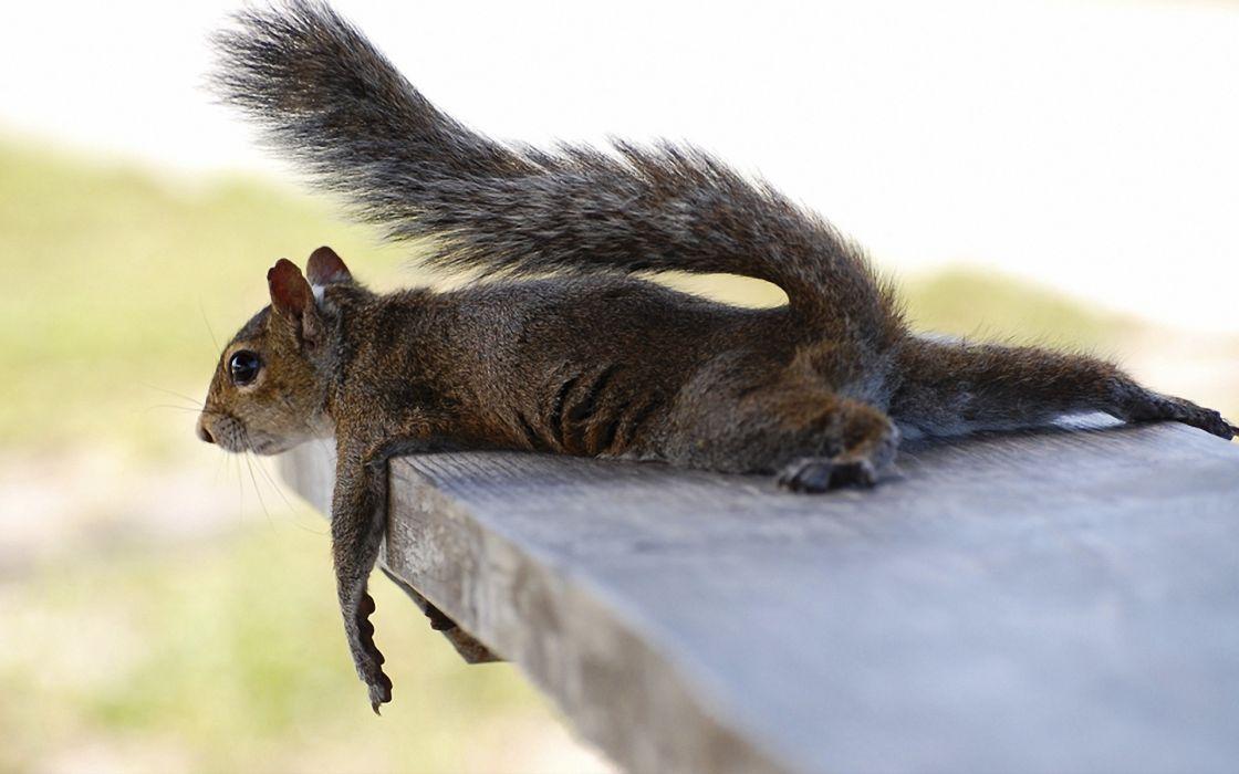 animals squirrels humor relax mood wallpaper