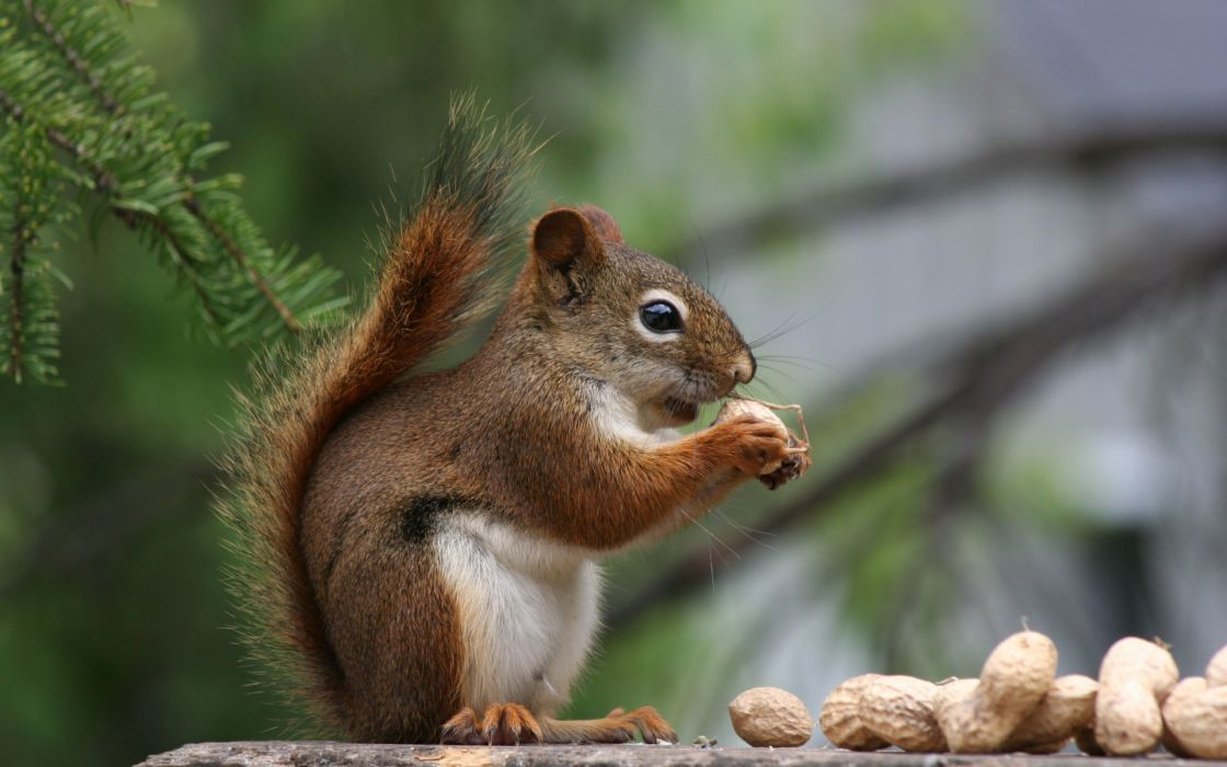 animals squirrels nuts wallpaper