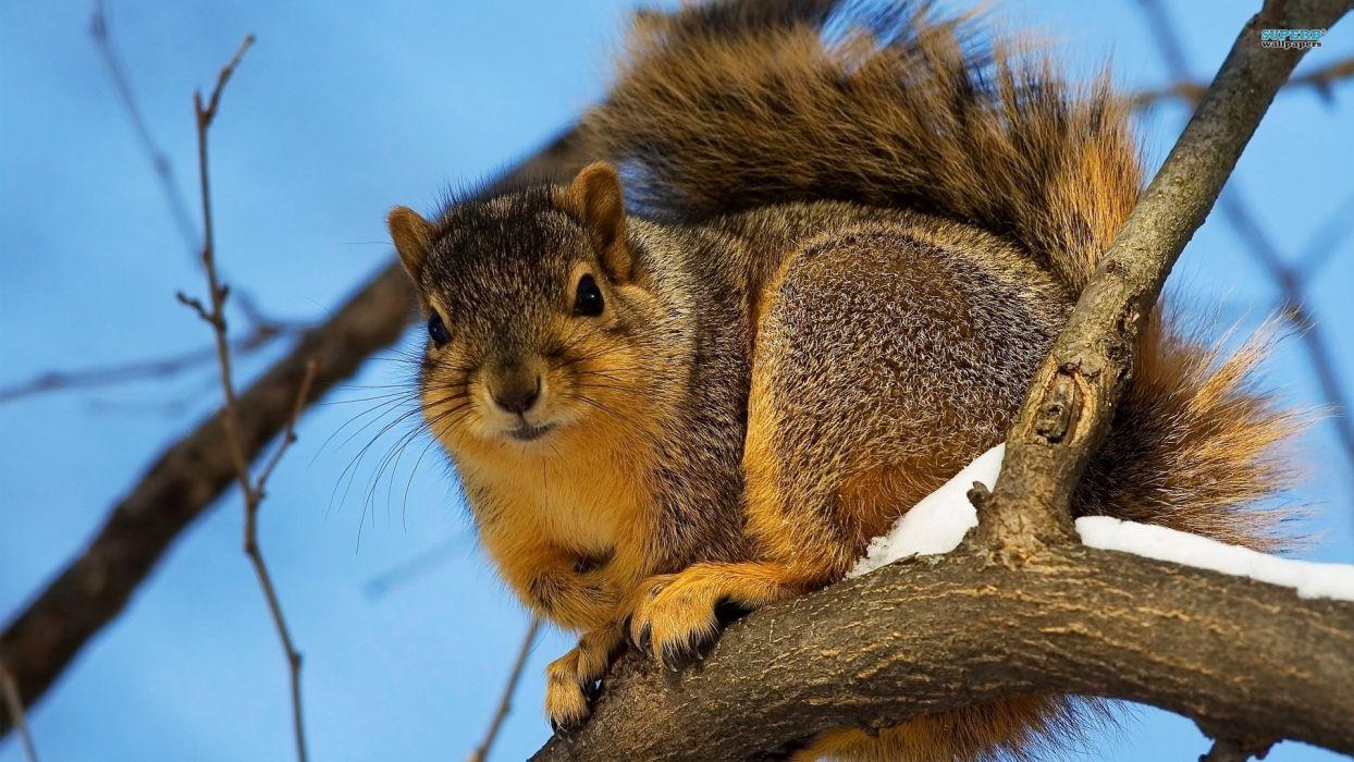 animals squirrels winter wallpaper