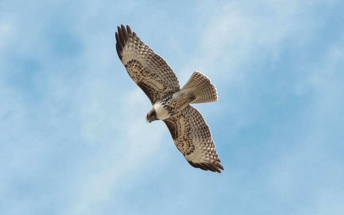 animals birds falcon flight fly sky wings feathers predator nature wildlife wallpaper