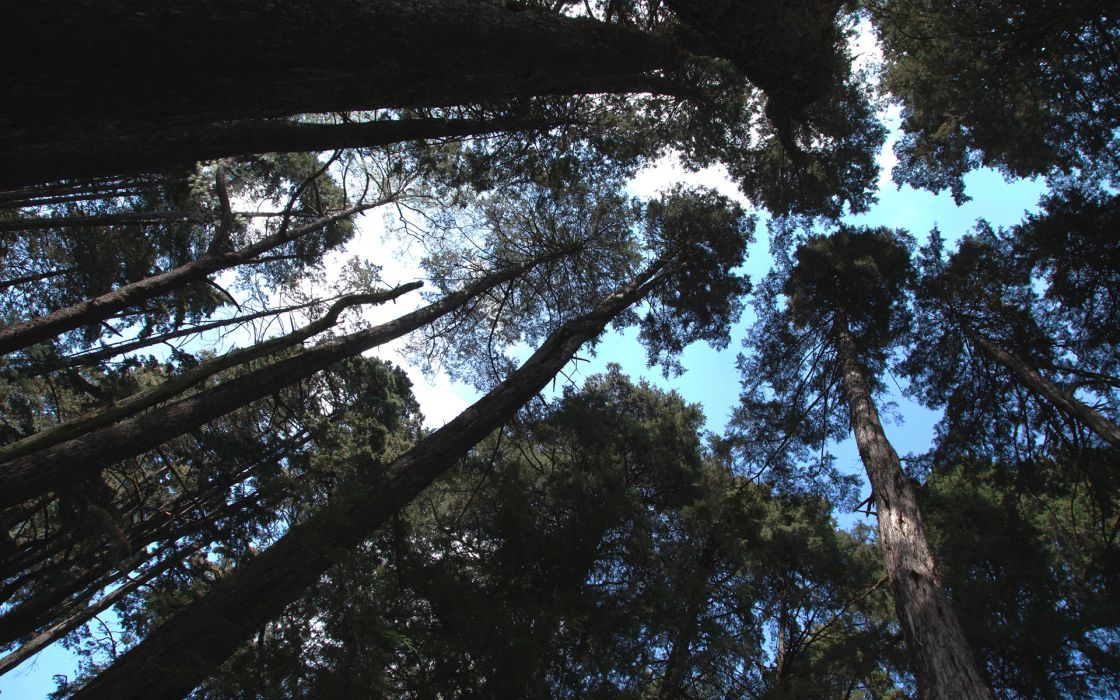 nature trees forest woods tops trunk sky wallpaper