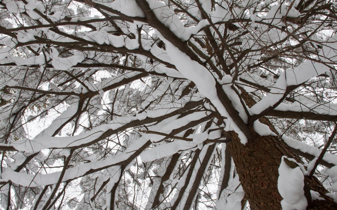 nature trees forest woods winter snow tops seasons wallpaper