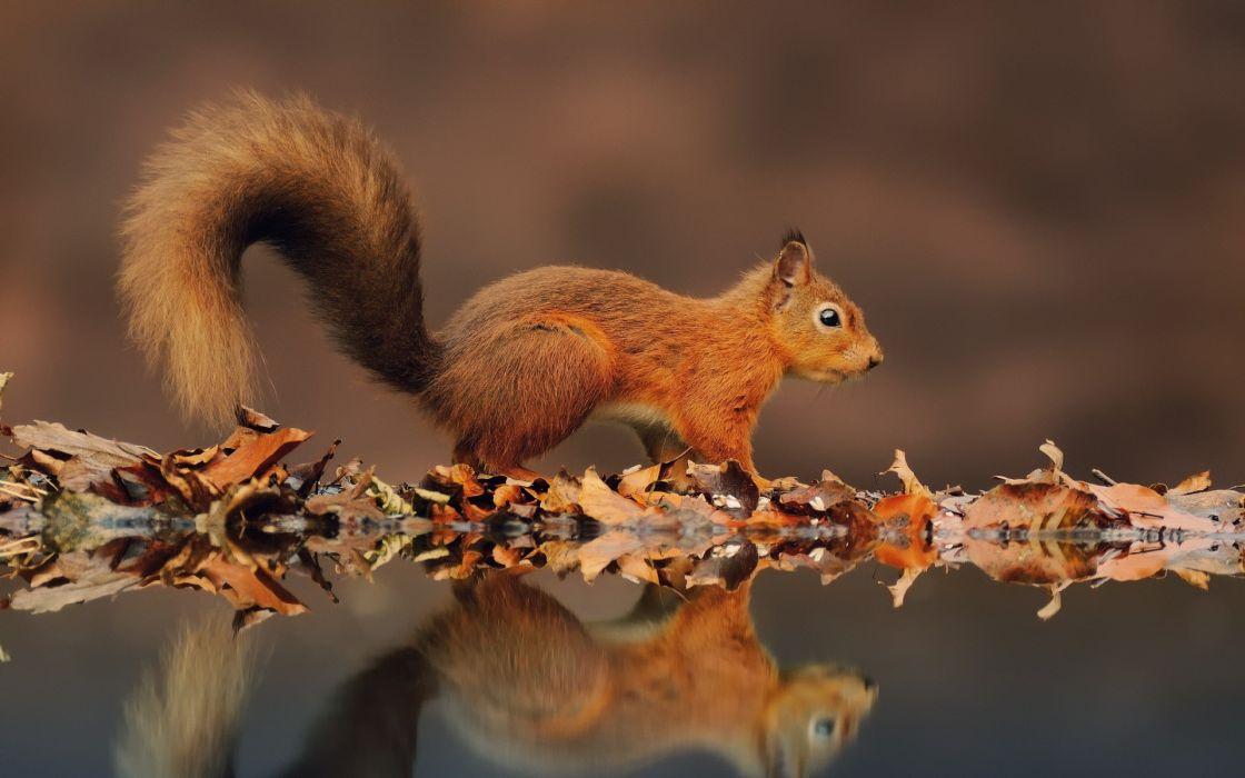 squirrels reflections wallpaper