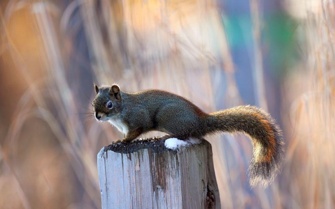 squirrels wallpaper