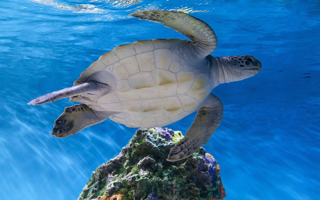 Turtle Tortoise Underwater ocean sea wildlife wallpaper