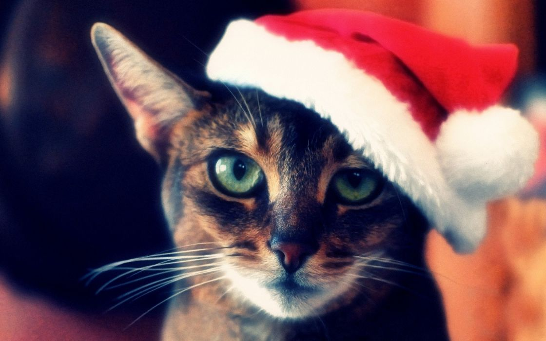 animals cats felines christmas santa face eyes pov wallpaper