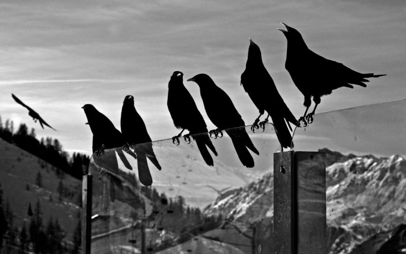 crows animals birds ravens black white bw glass mountains nature sky wallpaper