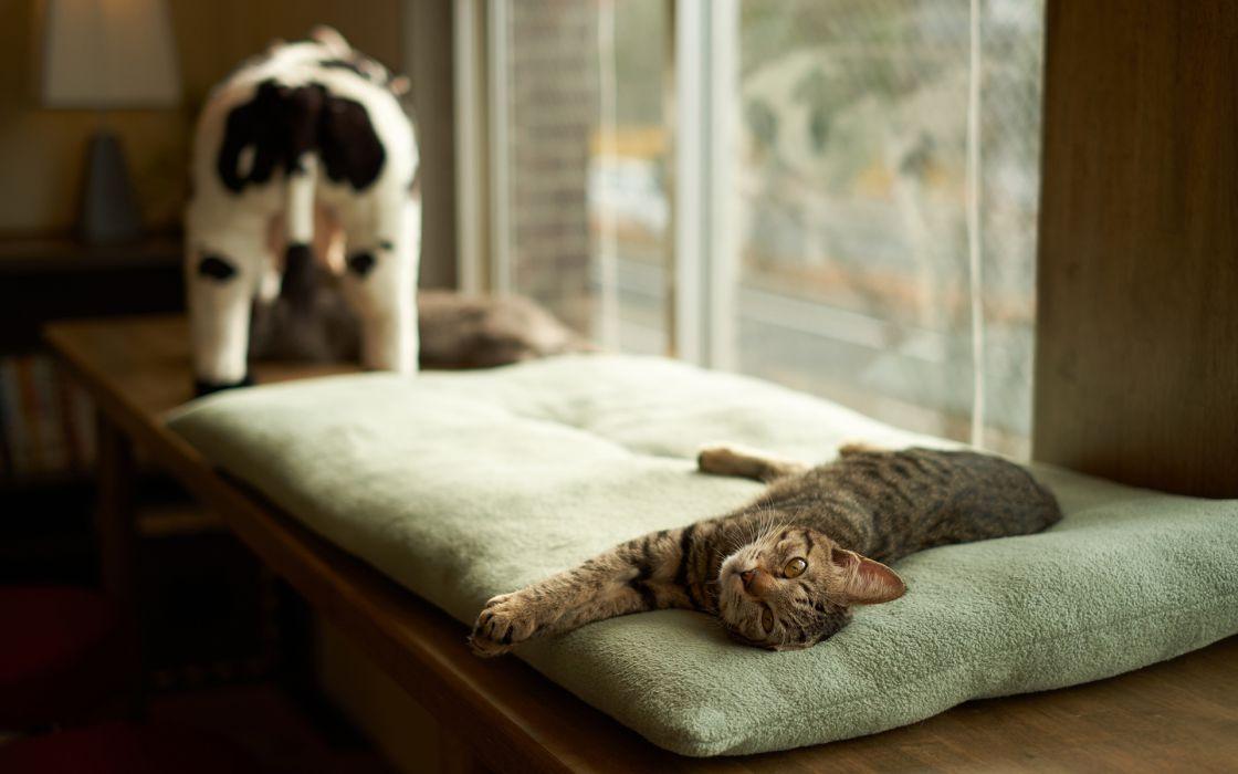 face eyes pov cats felines animals room interior wallpaper