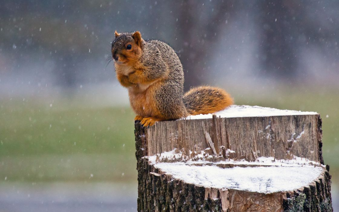 Squirrel Snow Winter flakes seasons wallpaper