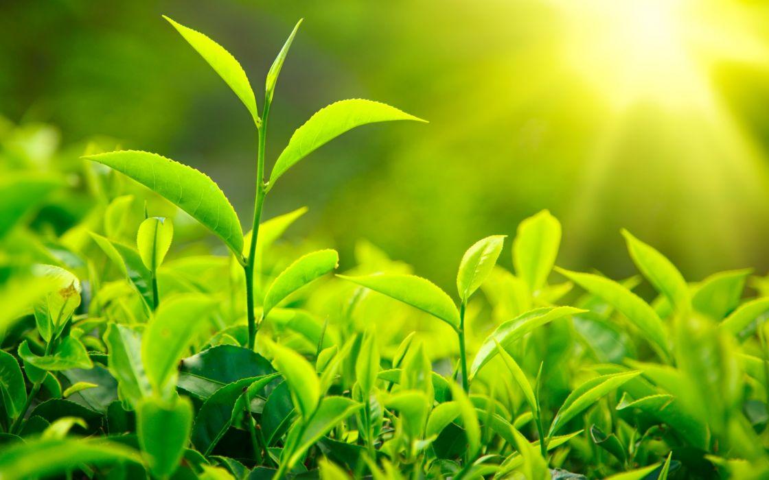 tea leaves nature plants green sunlight drinks wallpaper