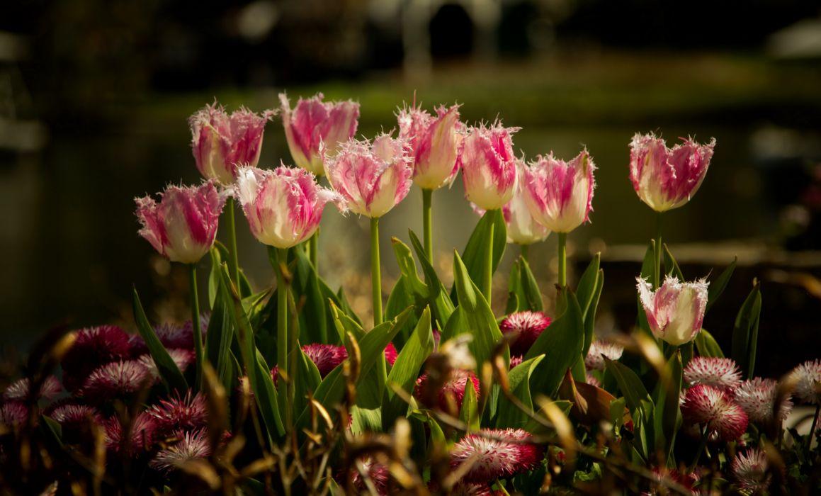 tulips flowers peteals garden wallpaper