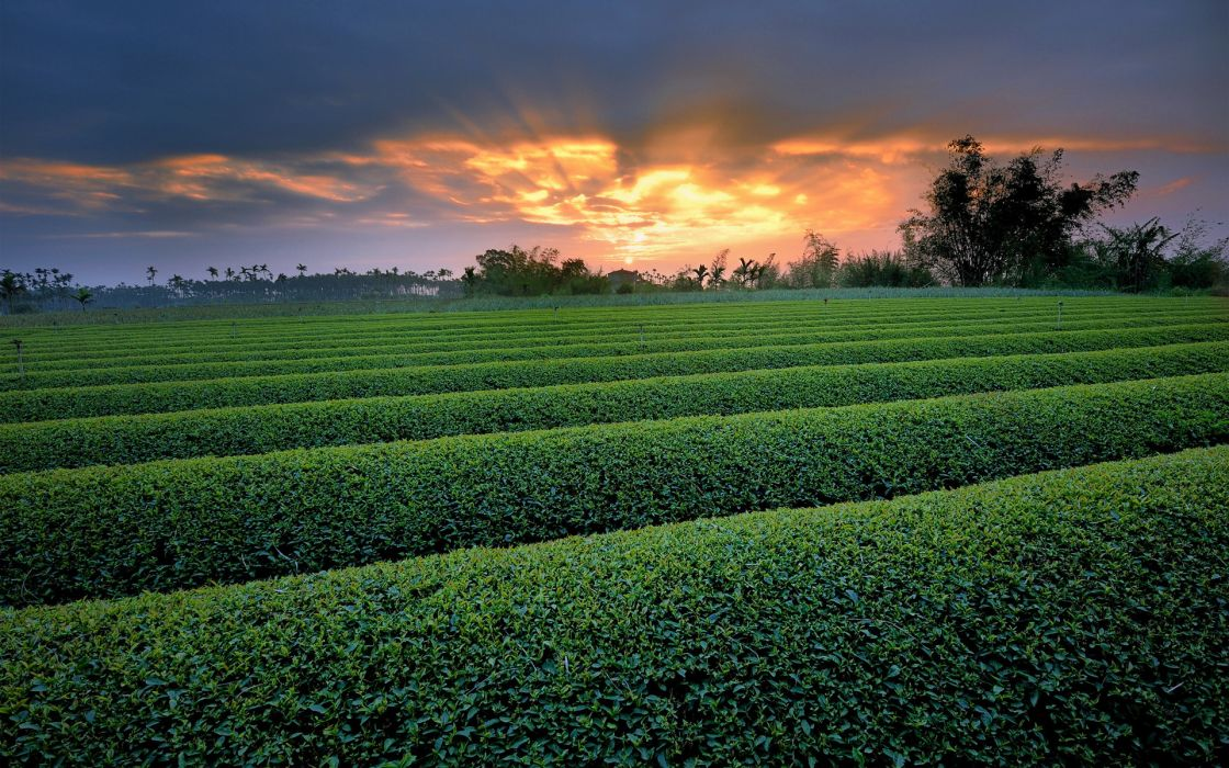 herbs crops farm fields nature landscapes row pattern leaves trees sky clouds sunset sunrise wallpaper