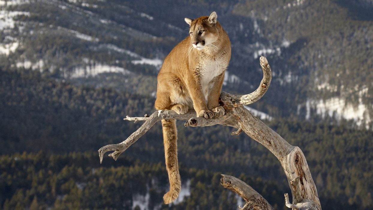 Cougar Mountain Lion Trees Forest Branch Predator Wildlife Nature Wallpaper