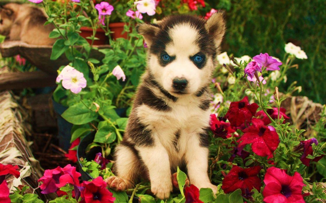 eyes animals dogs puppy blue flowers babies cute wallpaper