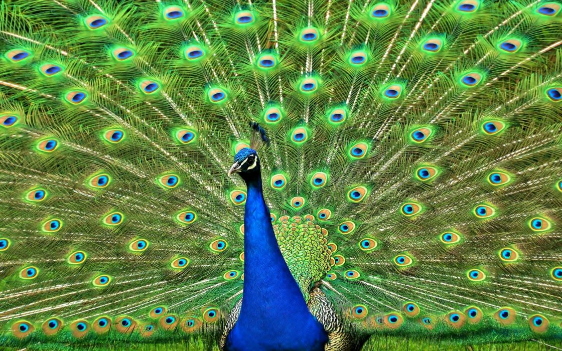 peacock feathers bird color pattern texture wallpaper