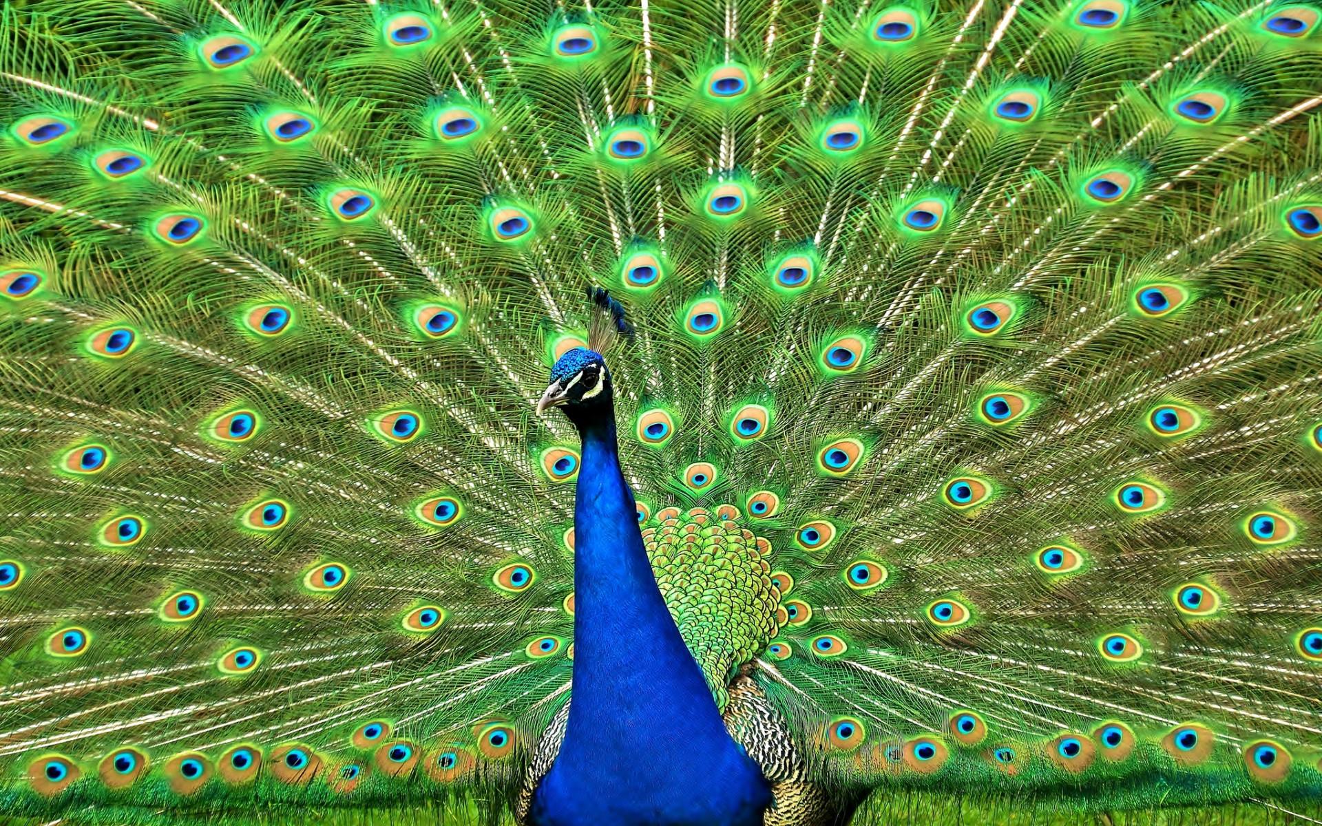 peacock bird pictures