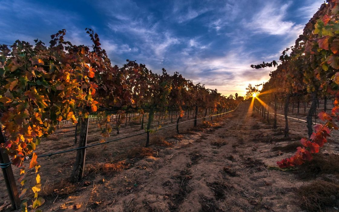vineyard grapes fruit rows leaves landscapes nature sunrise sunset sky clouds wallpaper