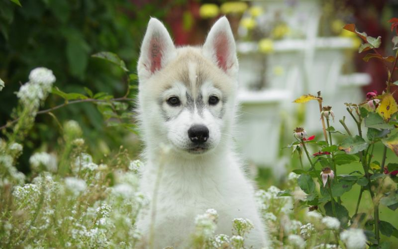 eyes animals dogs canines babies puupy flowers cute wallpaper