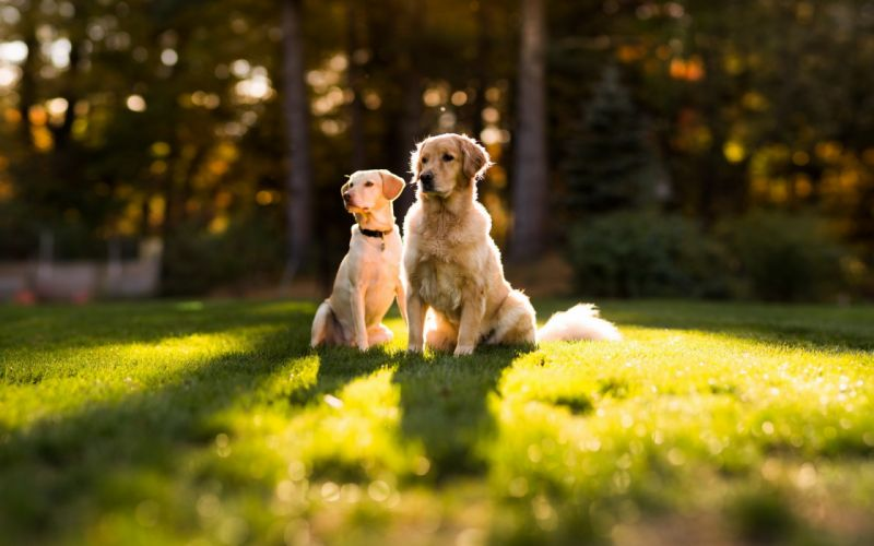 canine animals dogs grass mood landscapes sunlight wallpaper
