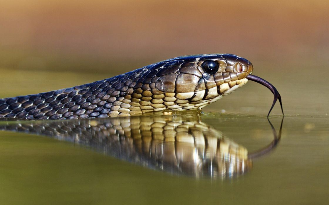 reptile snake serpent water rivers lakes eyes pov wildlife wallpaper