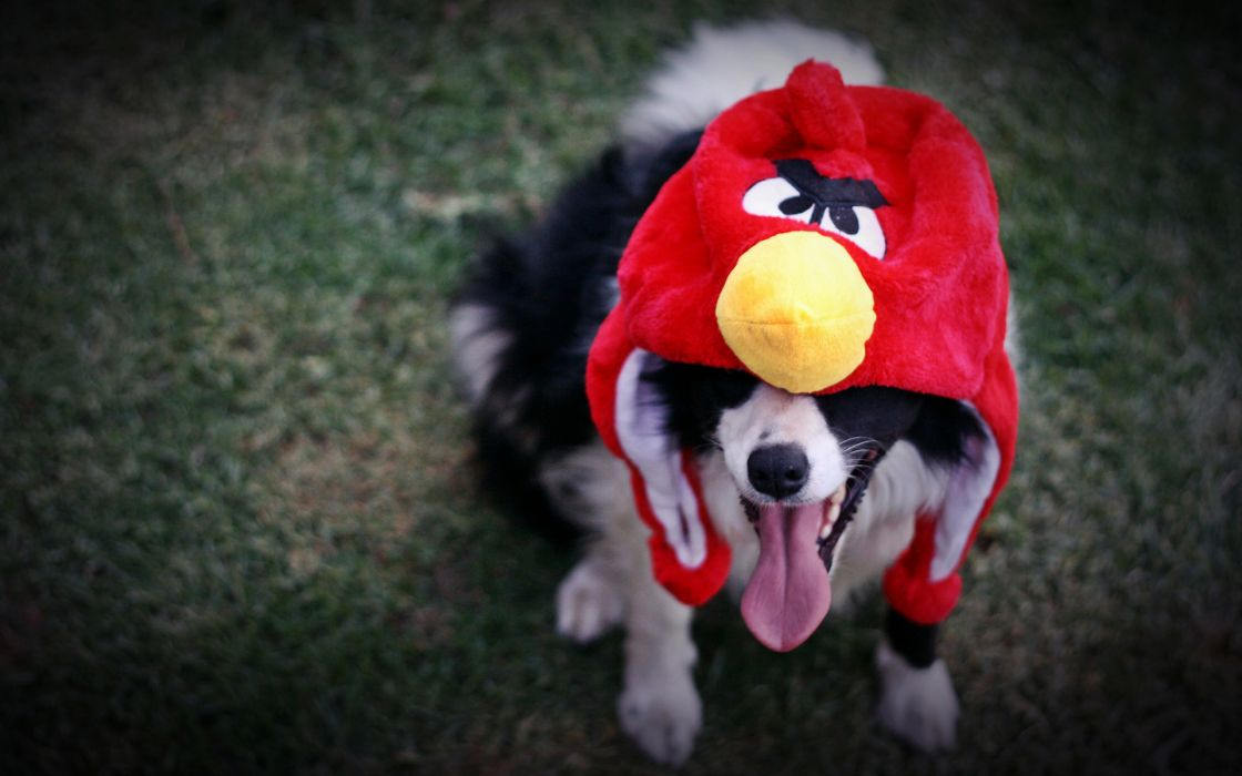 Angry Birds cosplay video games custume hat canine animals dogs humor funny wallpaper