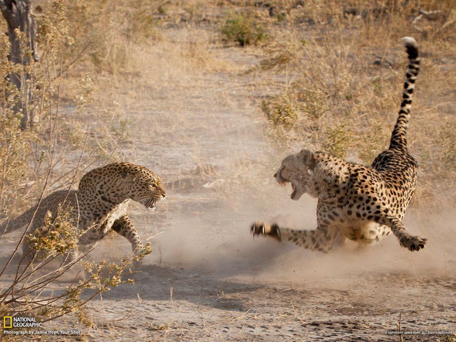 battle cheetah leopard war africa fangs mood fight wildlife predator wallpaper